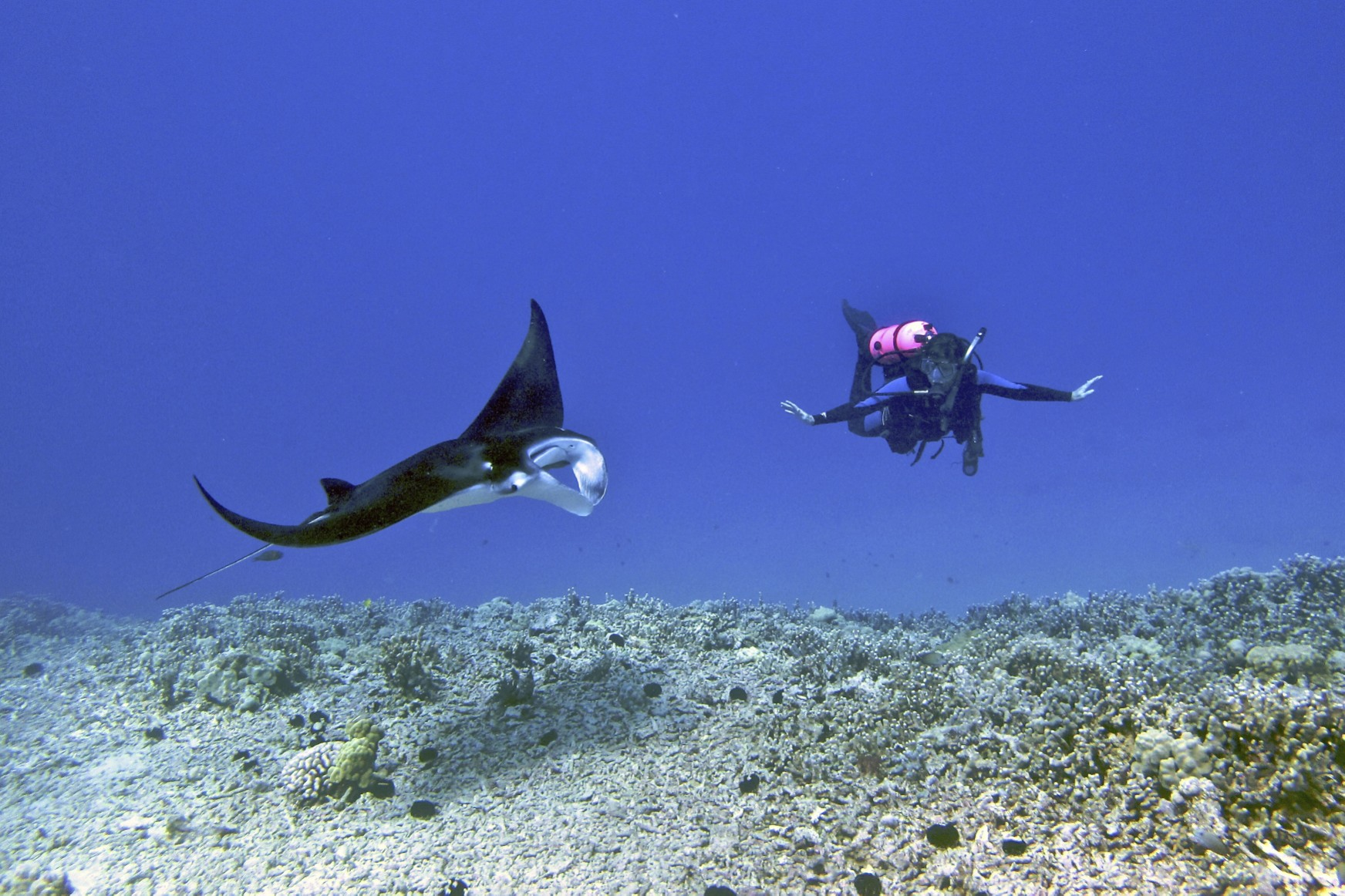 Female_scuba_diver_swims_with_a_young_male_Manta_ray_-_Kona_district,_Hawaii