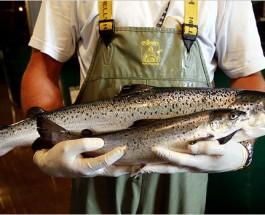 Генетически модифицированный лосось вскоре появится на прилавках супермаркетов Великобритании.